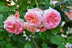 Jardim de rosas com rosas cor-de-rosa Foto de Stock Royalty Free