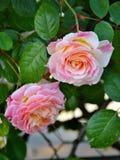 Jardim de rosas com rosas cor-de-rosa Fotografia de Stock