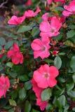Jardim de rosas com rosas cor-de-rosa Imagens de Stock Royalty Free