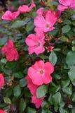 Jardim de rosas com rosas cor-de-rosa Fotografia de Stock Royalty Free