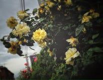 Jardim de rosas da cidade imagem de stock