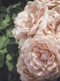 Jardim de rosas do vintage Modo do verão Fotos de Stock Royalty Free