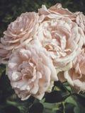 Jardim de rosas do vintage Modo do verão Fotos de Stock