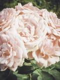 Jardim de rosas do vintage Modo do verão Imagens de Stock Royalty Free