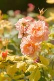Jardim de rosas de floresc?ncia imagem de stock royalty free