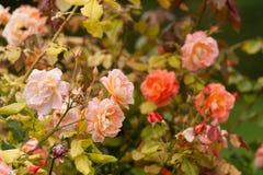 Jardim de rosas de floresc?ncia fotografia de stock royalty free