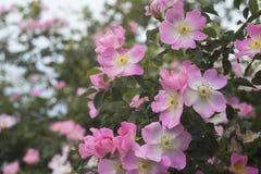 Jardim de rosas sobre o verde Foto de Stock
