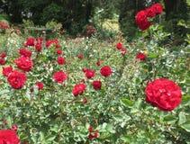 Jardim de rosas vermelho fotografia de stock royalty free