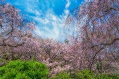 Jardim de sakura da flor completa com céu azul imagem de stock royalty free