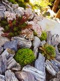 Jardim de Suculents Fotografia de Stock Royalty Free