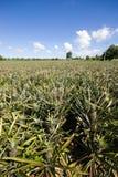 Jardim do abacaxi em Tailândia Foto de Stock