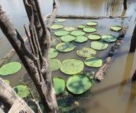 Jardim do amazonica de Victoria Fotos de Stock Royalty Free
