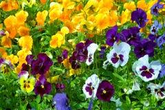 Jardim do amor perfeito Imagem de Stock Royalty Free