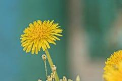 Jardim do arbusto de corinto na primavera fotografia de stock