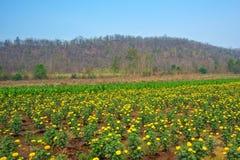 Jardim do cravo-de-defunto e céu azul na natureza Imagem de Stock