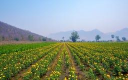 Jardim do cravo-de-defunto e céu azul na natureza Fotos de Stock
