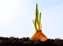 Jardim do crescimento de vegetais da cebola da mola Imagens de Stock