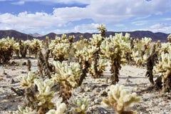 Jardim do deserto de Cholla Imagens de Stock Royalty Free