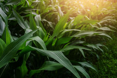 Jardim do milho verde Foto de Stock Royalty Free
