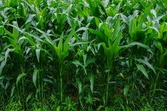 Jardim do milho verde Fotografia de Stock Royalty Free