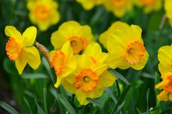 Jardim do narciso amarelo Fotografia de Stock Royalty Free