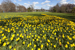 Jardim do narciso amarelo Fotos de Stock