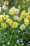 Jardim do narciso amarelo da mola Fotografia de Stock Royalty Free
