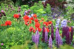 Jardim do país com papoilas e lupinus Fotografia de Stock Royalty Free