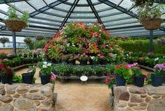Jardim do Pelargonium Foto de Stock