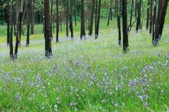 Jardim do pinheiro na flor, parque nacional Tailândia de Phoosoidao Fotos de Stock Royalty Free
