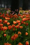 Jardim do Tulip Foto de Stock Royalty Free