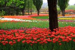 Jardim do Tulip Imagens de Stock