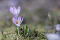 Jardim dos açafrões na primavera Imagem de Stock Royalty Free