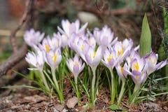Jardim dos açafrões na primavera Fotografia de Stock Royalty Free