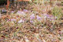 Jardim dos açafrões na primavera Foto de Stock