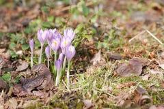 Jardim dos açafrões na primavera Imagem de Stock
