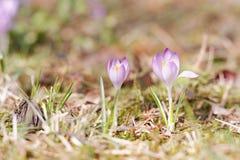 Jardim dos açafrões na primavera Fotos de Stock