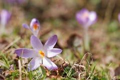 Jardim dos açafrões na primavera Fotografia de Stock