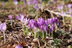 Jardim dos açafrões na primavera Foto de Stock Royalty Free