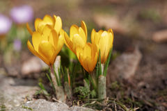 Jardim dos açafrões na primavera Imagens de Stock