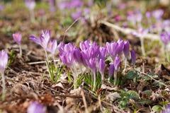 Jardim dos açafrões na primavera Imagens de Stock Royalty Free