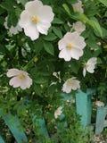 Jardim dos caninae de Rosa na primavera imagens de stock