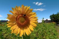 Jardim dos girassóis Os girassóis têm benefícios de saúde abundantes germany Fotografia de Stock Royalty Free