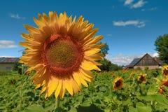 Jardim dos girassóis Os girassóis têm benefícios de saúde abundantes germany Imagens de Stock Royalty Free