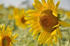Jardim dos girassóis Os girassóis têm benefícios de saúde abundantes O óleo de girassol melhora a saúde da pele e promove a regen Imagens de Stock