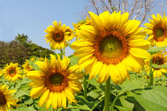 Jardim dos girassóis Os girassóis têm benefícios de saúde abundantes Sun Imagens de Stock