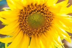 Jardim dos girassóis Os girassóis têm benefícios de saúde abundantes Sun Foto de Stock