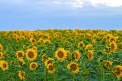 Jardim dos girassóis Os girassóis têm benefícios de saúde abundantes Sun Imagens de Stock Royalty Free