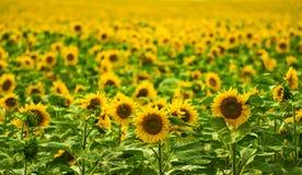Jardim dos girassóis Os girassóis têm benefícios de saúde abundantes Sun Fotografia de Stock Royalty Free