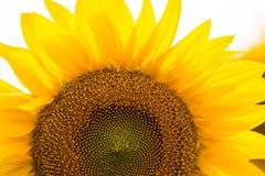 Jardim dos girassóis Os girassóis têm benefícios de saúde abundantes Sun Fotos de Stock Royalty Free